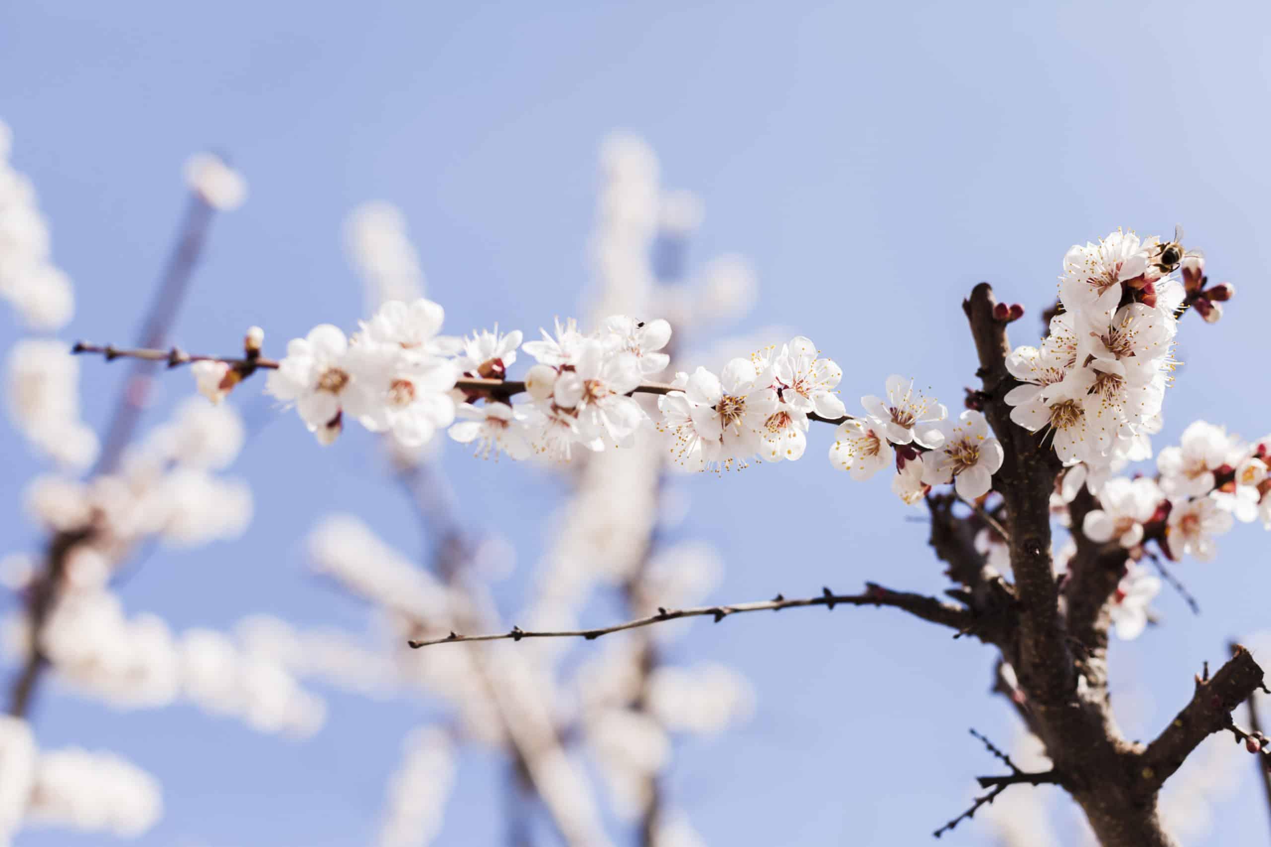 kwitnące drzewo migdałowca